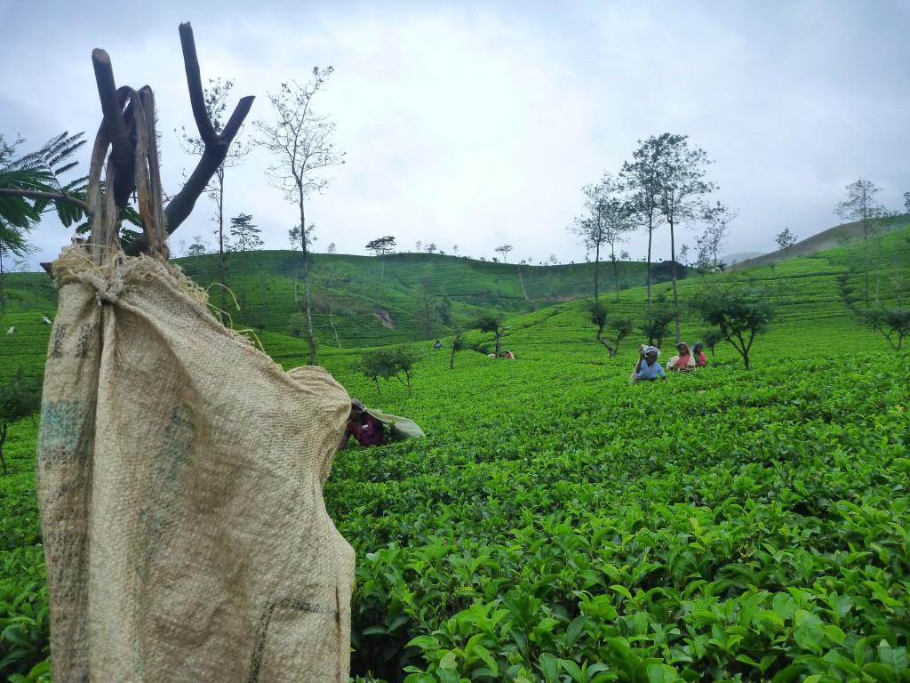 Ceylon Tee Anbaugebiet in Sri Lanka