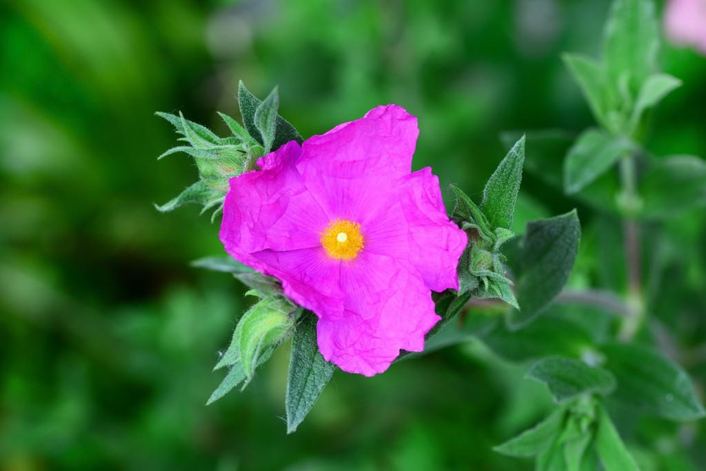 blühende Cistus-Pflanze aus der Tee hergestellt wird
