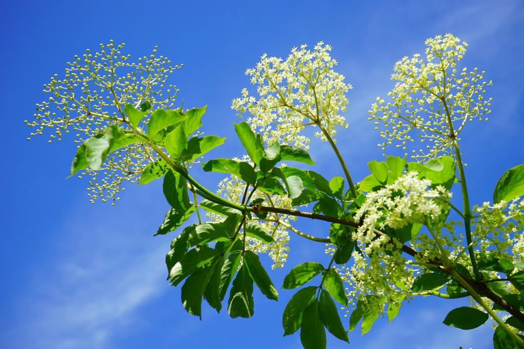 Geäst mit Blüten eines Holunderbaums