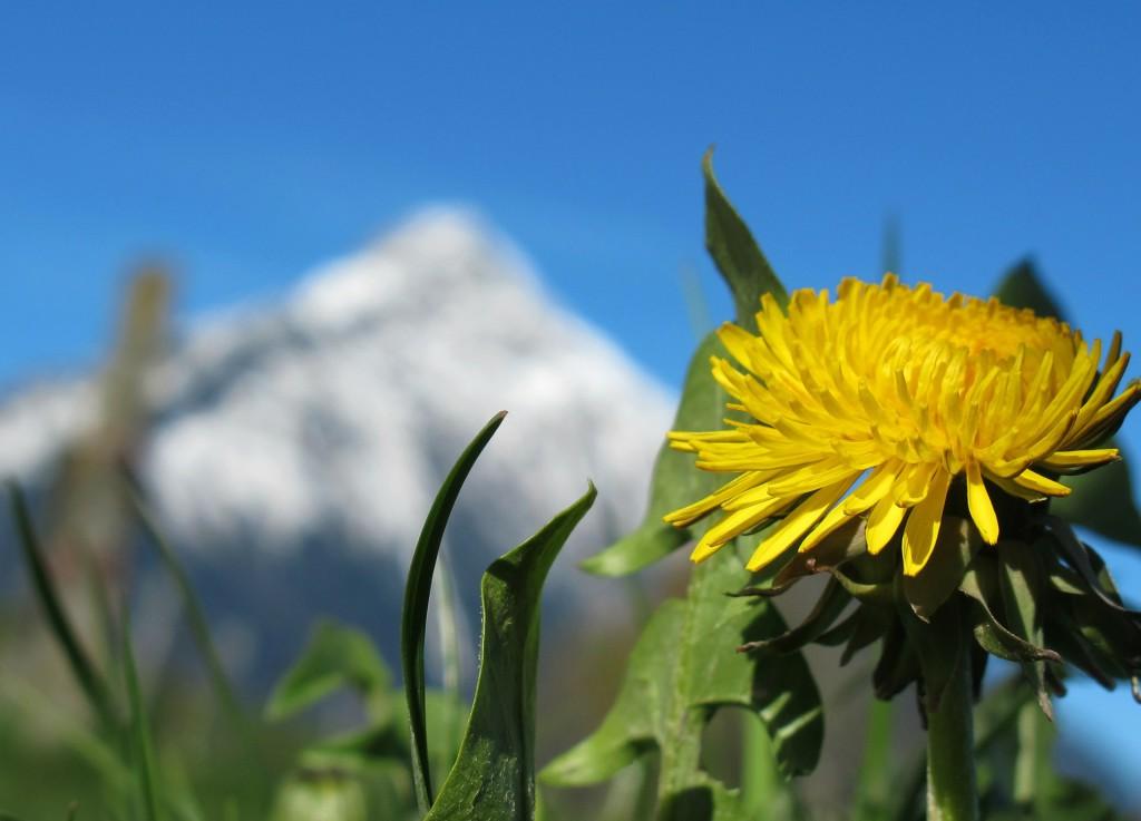 Löwenzahnwiese am Berghang