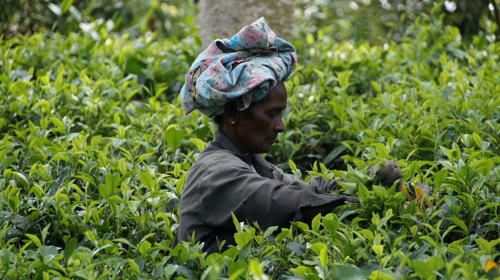 Teeplantage für grünen Matchatee
