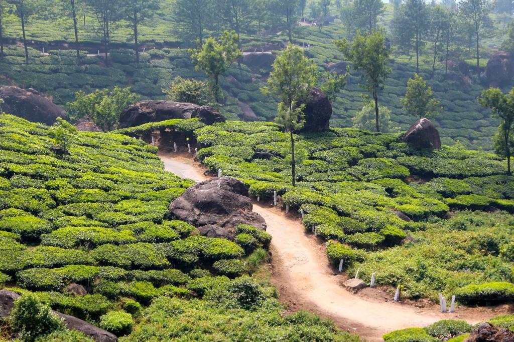 Anbaugebiet Oolong Tee