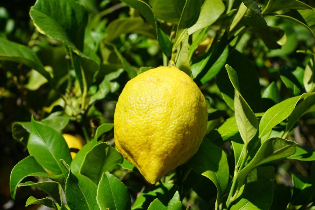 Zitronenbaum mit reifer Zitrone