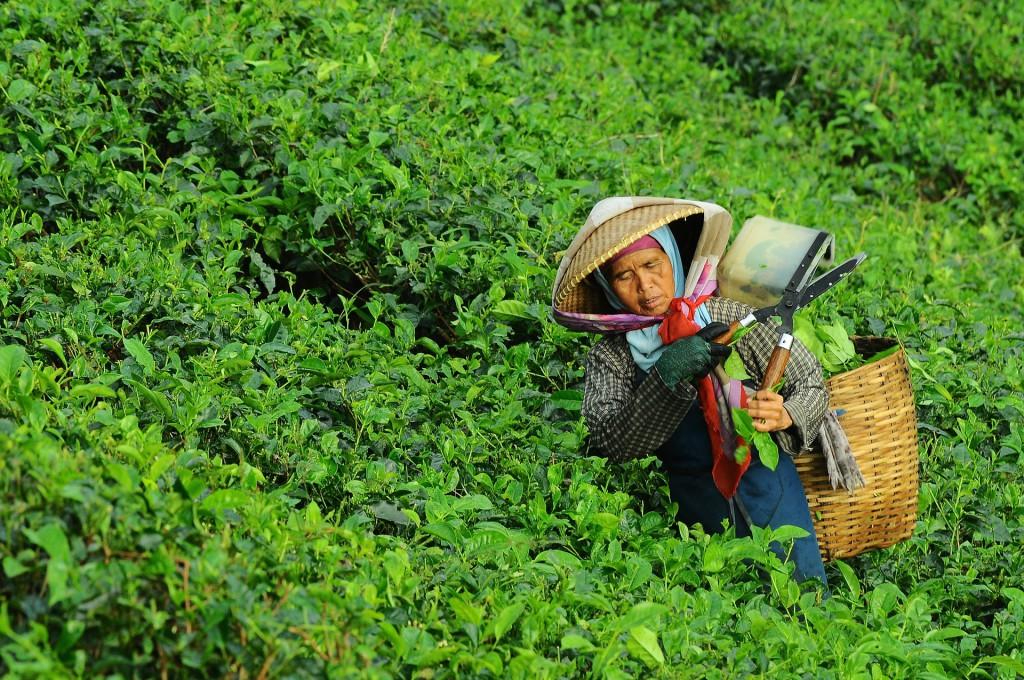 Bio Anbaugebiet für Tee