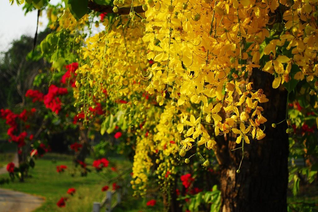 blühender Cassia Fistula Baum