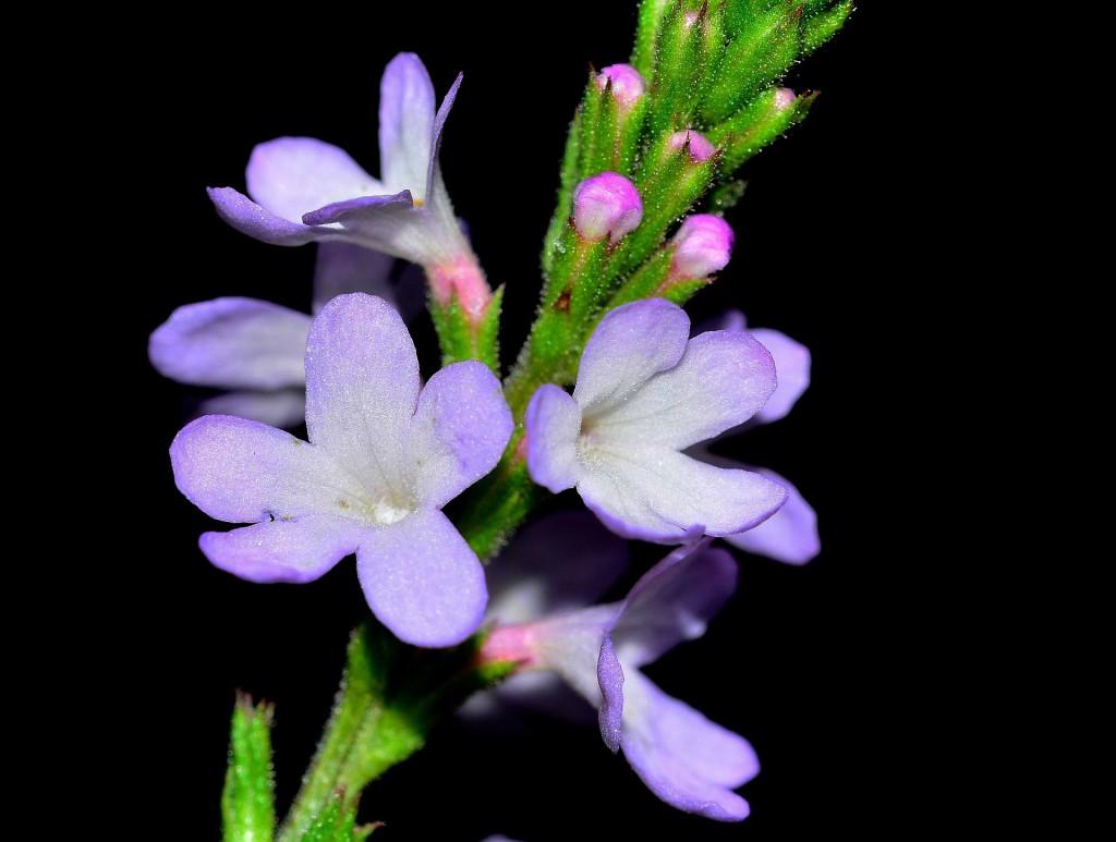 einzelne Blüte Eisenkraut Verbene
