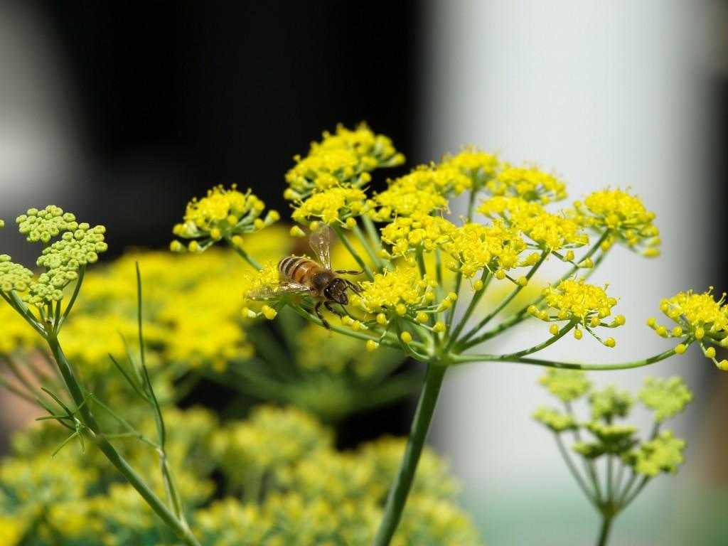 Gelbe Fenchelpflanze Blüten
