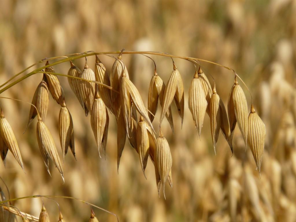 Haferpflanze mit Samen