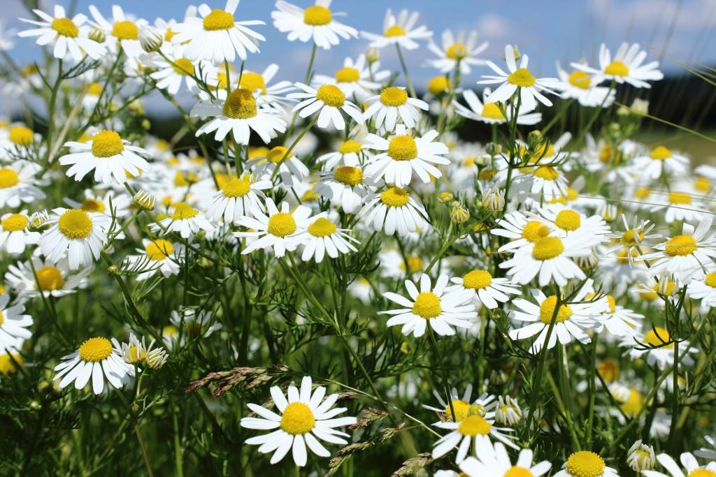 Wild wachsende Kamillenblumen