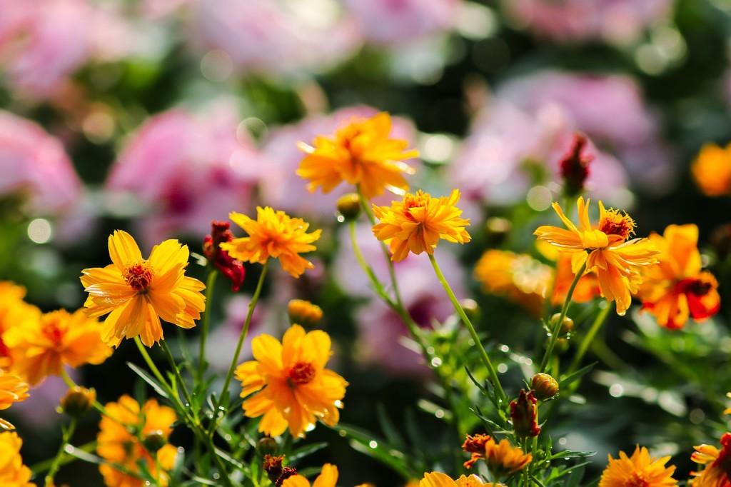 kleine Ringelblumen am blühen