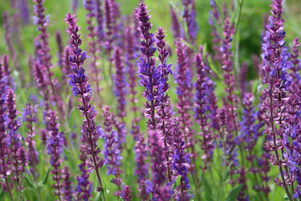 Feld voller Lavendelblüten - Nahaufnahme