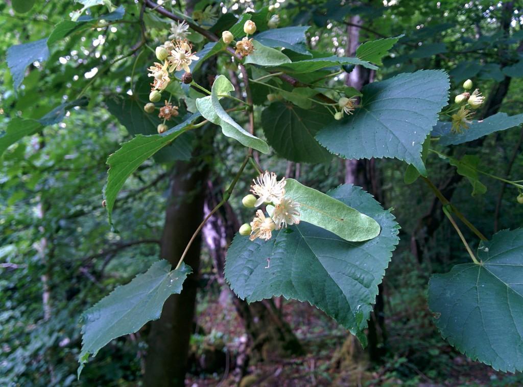 Lindenblüten und Knospen
