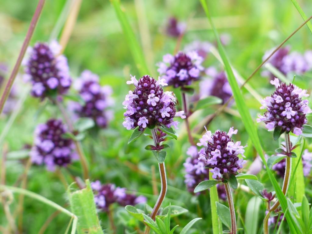 Thymian-Sträucher in der Blüte