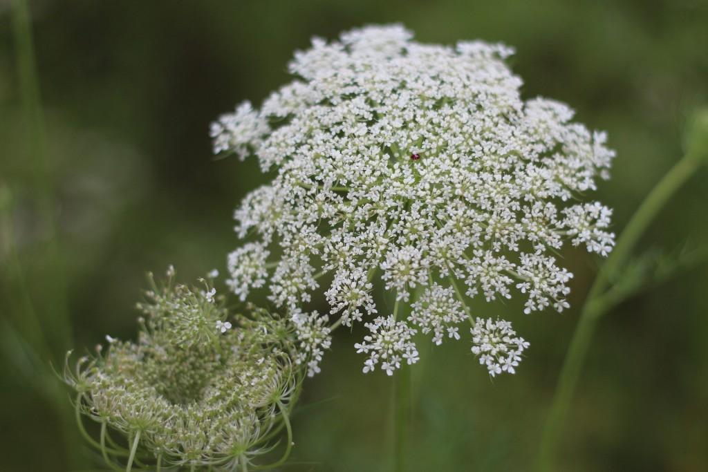 Wilde Fenchelpflanze Blüten Weiß