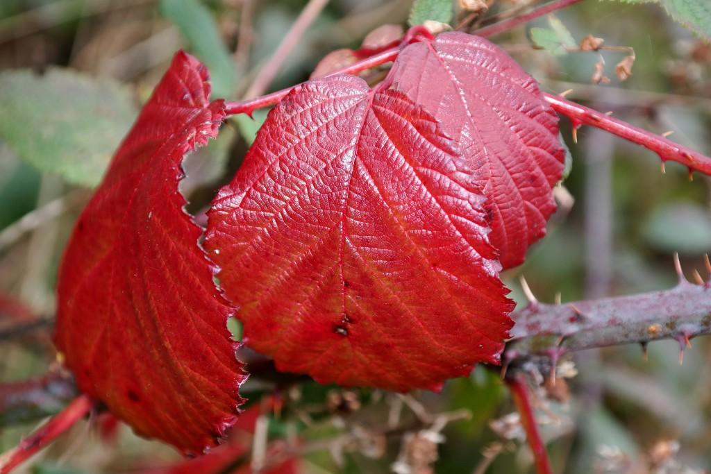 Rote Brombeerblätter - Inhaltsstoff für türkischen Apfeltee