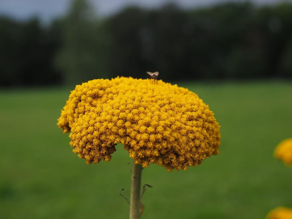 Schafgarben-Blüte zur Herstellung von Schafgarbentee