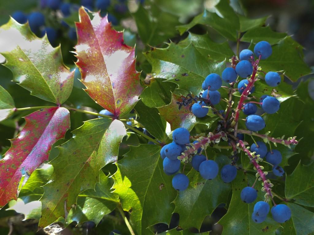 blühender Mistelzweig mit Beeren